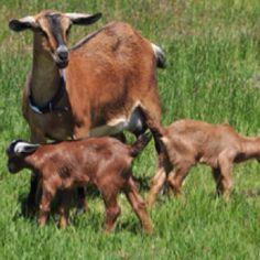 kinder goat - Google Search