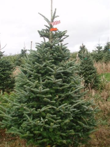 Fraser Fir Christmas Tree......being from western NC, Christmas tree capital of the eastern US, I've spent my life around these things. They smell amazing!