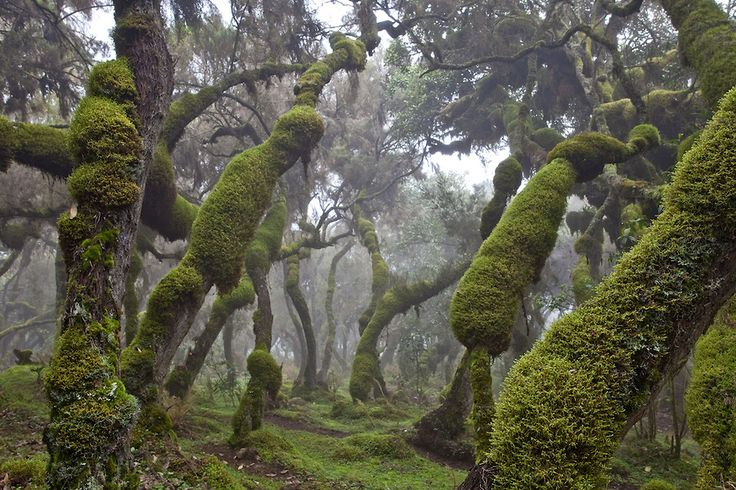 Harenna Forest, Bale Mountains National Park in Ethiopia.