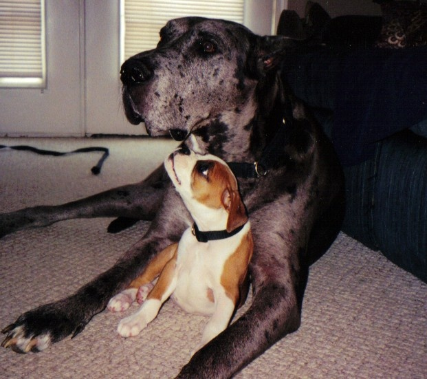 Bailey and Duke!  Boxer and Great Dane