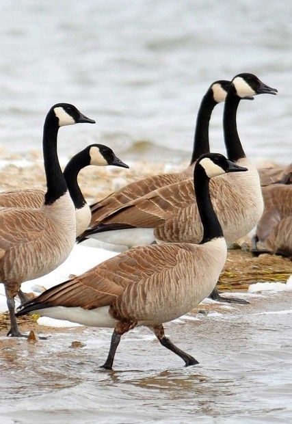 A flock of Canada geese head into the waters of the Helena Regulating Reservoir after basking on the frozen shoreline. Migrating birds, such as the snow geese, pintail ducks and tundra swans, can be seen migrating this time of year (Fall) in the Helena Valley.