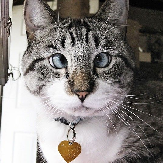 Spangles the cross-eyed cat becomes a Facebook star - Telegraph