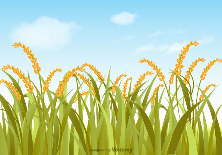 Free rice field with summer sky background vector illustration.
