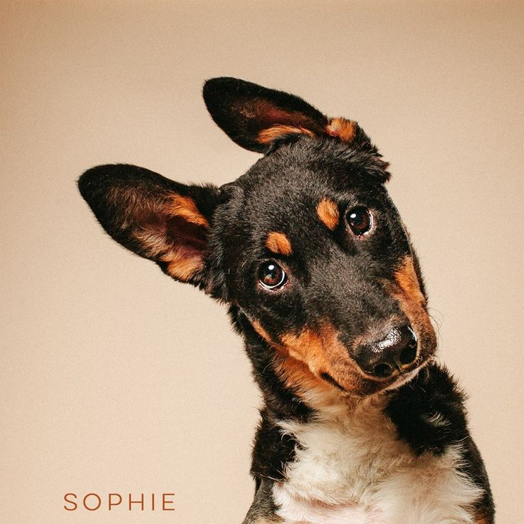 "11/15/16-HOUSTON - ""After everything I've been through, I'm still one of the sweetest dogs you will ever meet. Seriously. I'm only 6 months old and have undergone a few surgeries to correct an old leg injury. Good as new and ready to party with you!"" Sophie is available for adoption through Jamie's Animal Rescue."