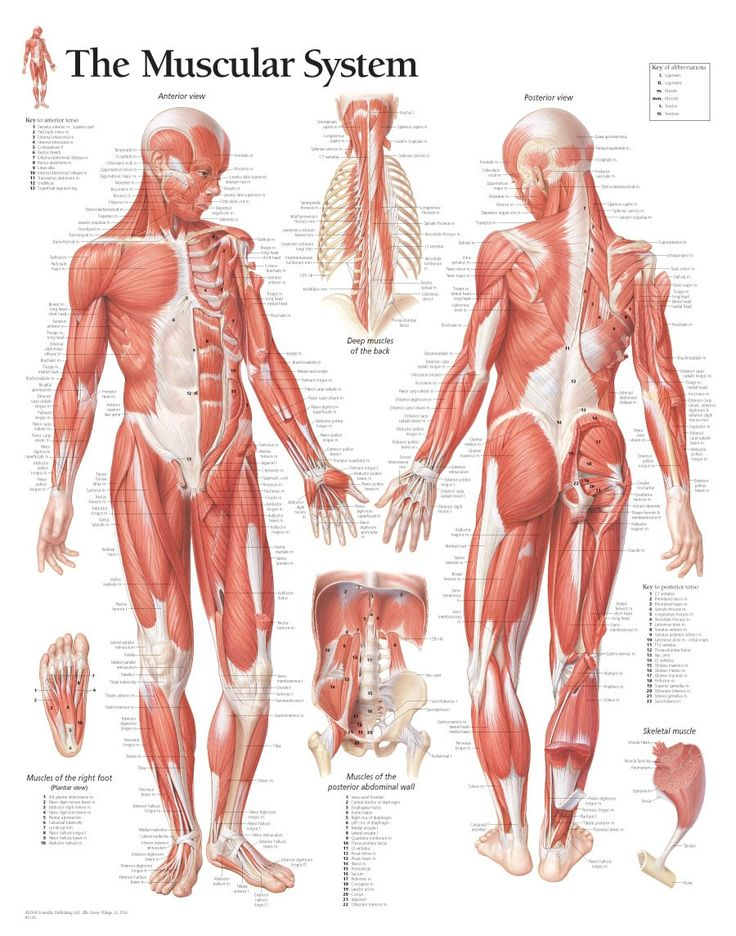 Male Muscular System Chart