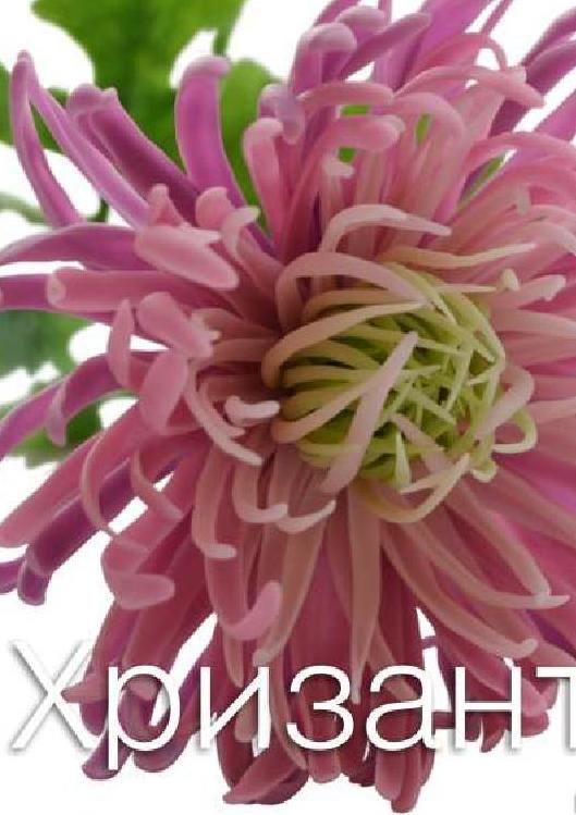 #ClippedOnIssuu from Мастер-класс по керамической флористике. Хризантема фиолетовая