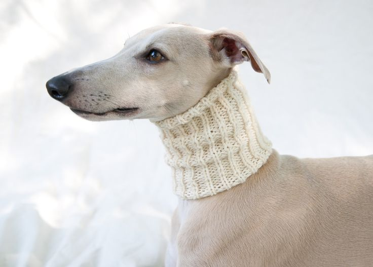 A whippet in a snood.