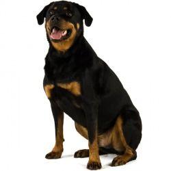 Il Rottweiler è un cane di taglia grande, massiccio e muscoloso, intelligente e dal carattere dominante. Amante dei bambini, è un cane che ama la famiglia e che mal sopporta un'educazione troppo violenta e rigida.