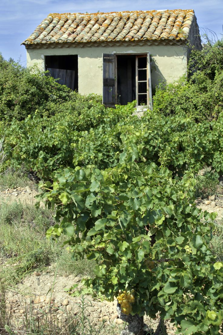 The vines at Domaine des Romarins
