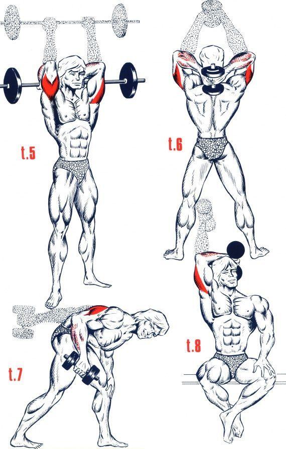 Triceps1 …