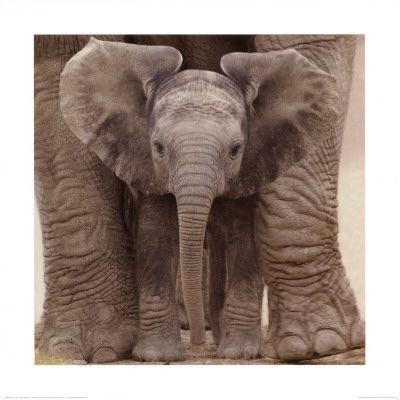 baby elephant: Wall Art, Allpost With, Ears Prints, Big Ears, Baby Elephants, Art Prints, Poster, Art Com, Animal