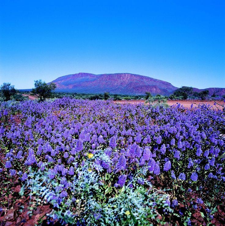 #AustraliaItsBig - The purple Mulla Mulla at Mount Augustus. Western Australia