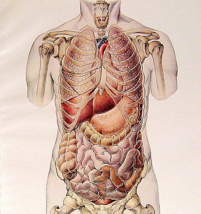 Анатомия картинки органы