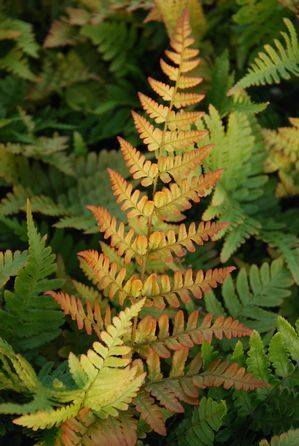 Autumn fern. And I got them for free since they came up along the house from some my mom gave me more than 10 years ago!