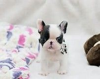 Image result for Miniature French Bulldogs