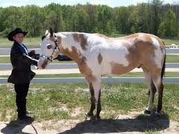 Image result for paint stallion for sale
