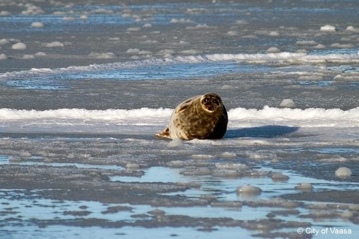 a seal @ Vaasa Archipelago. www.visitvaasa.fi. Photo Jaakko Salo.