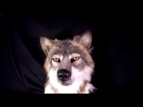 HYPER REALISTIC WOLF MASK COSTUME REVIEW - YouTube