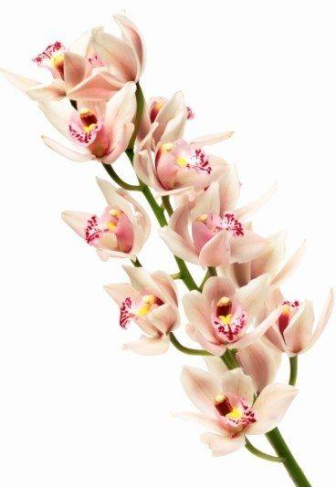 Orchidée : Sa signification dans le langage des fleurs - Le langage des fleurs