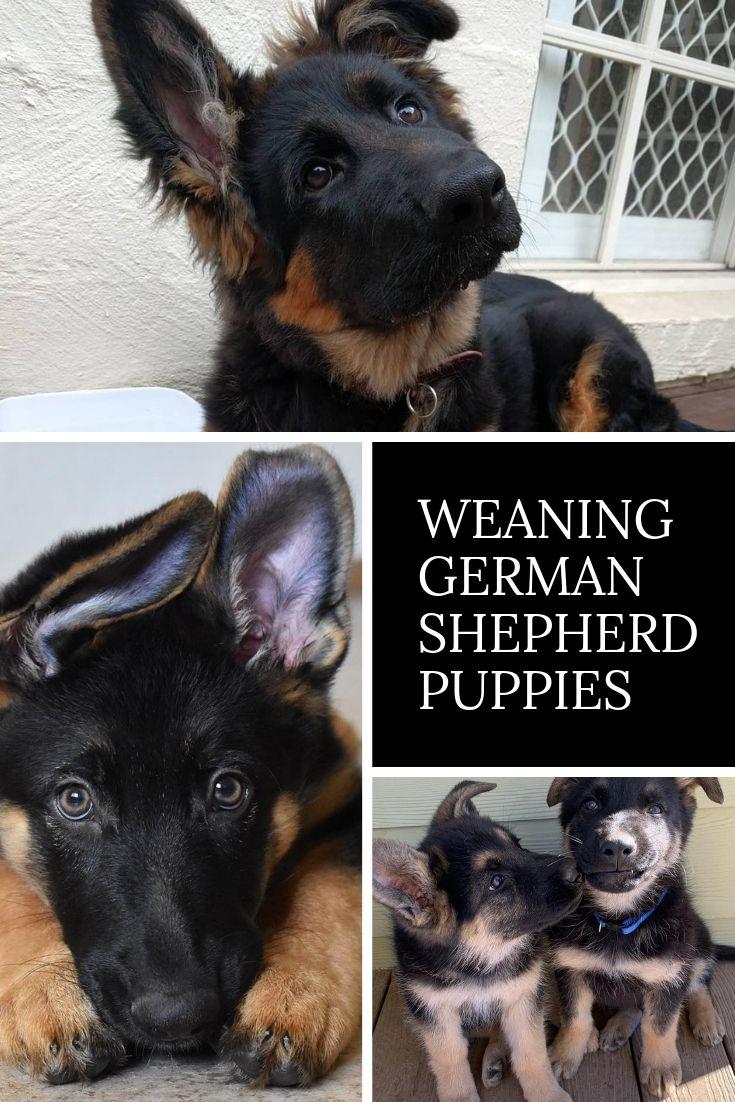 Weaning Puppies German Shepherd Dog Gsd German Shepherd Dogs
