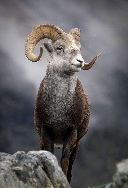 Stone Sheep; Muncho Lake