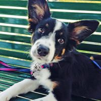 Pepper the Border Collie Mix