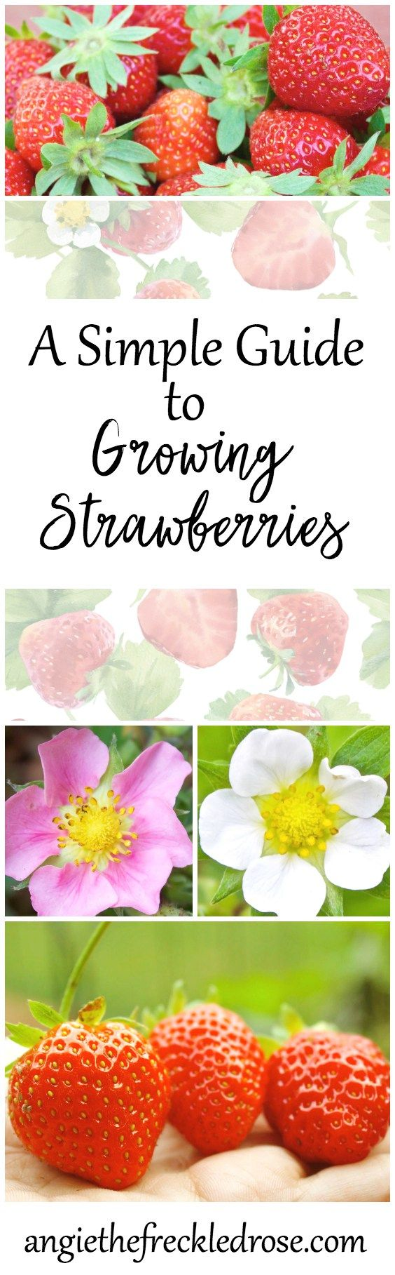 When I first started gardening, I couldn't wait to try growing strawberries! These red berries are jam-packed full of vitamins, fiber and antioxidants. I can never resist a bite of a plump, juicy and sweet strawberry. A Simple Guide To Growing Strawberrie