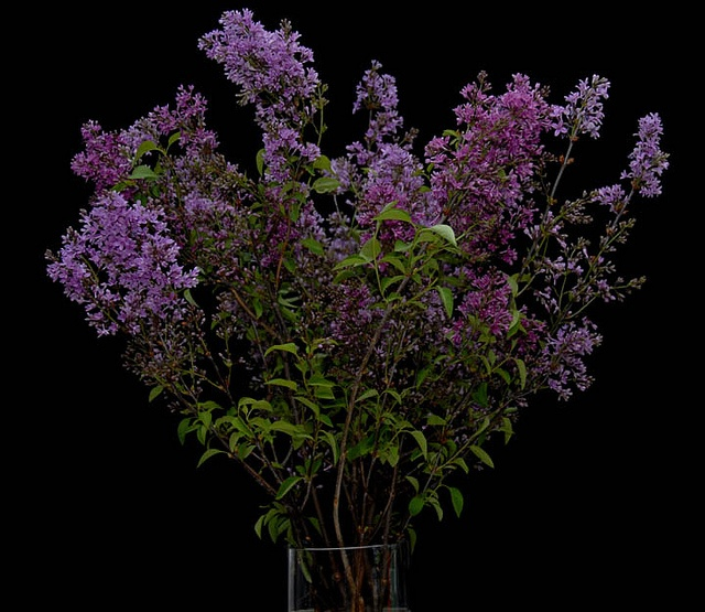 Lilacs  From Rittners Floral School, Boston, Ma. www.floralschool.com