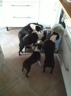 Northeast Boston Terrier Rescue: Doggie Dishwasher