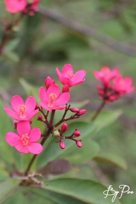 Batavia, Mesandrinia, Jathropa Pandurifolia merah
