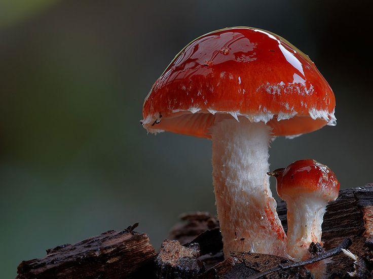 Best Mushrooms Images On Pinterest Mushrooms Mushroom Fungi - Photographer captures the beautiful diversity of australias fungi