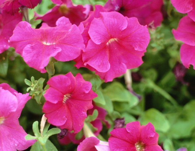 Are Petunias Annual Or Perennial Hunker Petunia Flower Petunia Care Wave Petunias