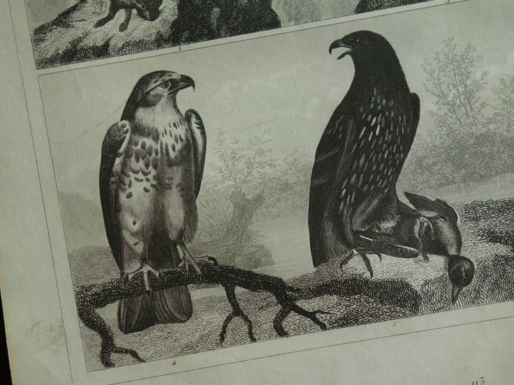 "160+ years old bird print - original 1849 antique poster - vintage pictures of birds of prey hawks hawk havik sparrow sperber - 9x12"" 23x30c by DecorativePrints on Etsy"
