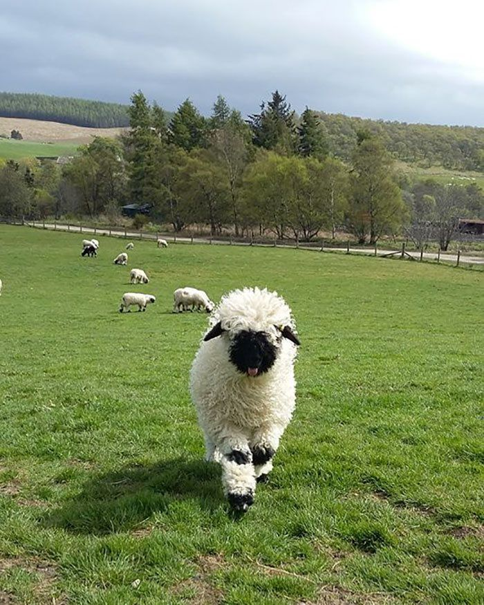 People Can't Agree Whether These Sheep Are Cute Or Terrifying