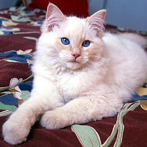 The 10 Most Popular Cat Breeds