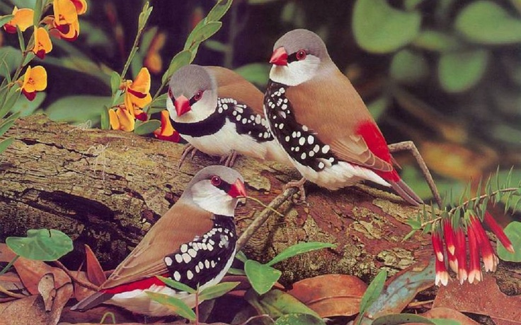 """Diamond Firetail - native to Australia and their conservation status is """"Near Threatened"""" due to habitat loss, competition with invasive species, and increased predation."""