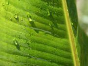 Zierbanane gießen und düngen – So versorgen Sie Ihre Bananenstaude richtig