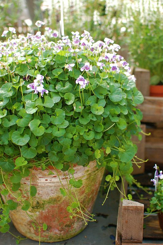 I never thought to put these in containers. Violets grow wild all over my yard - will try this in the spring.
