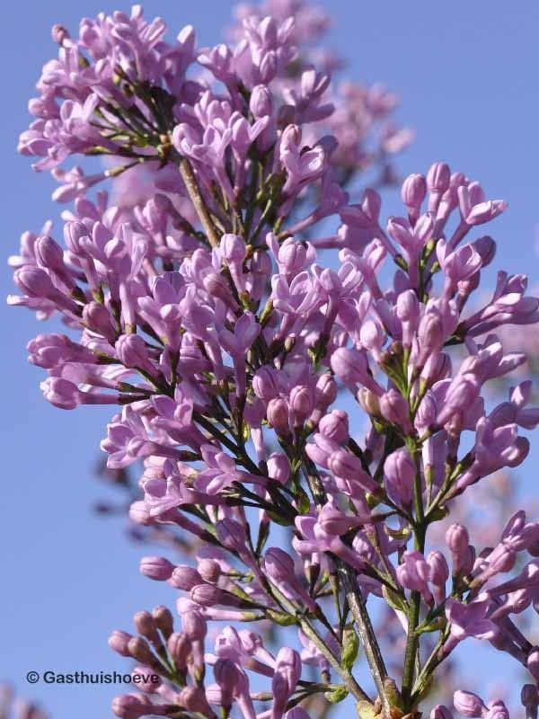 Sering volle zon kopen. Syringa chinensis Lilac Sunday bloeit best in de volle zon met lila bloemen.