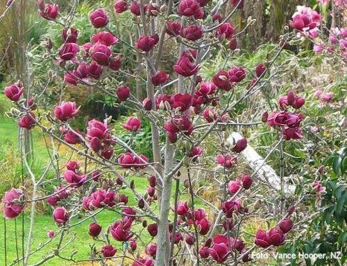 17 best ideas about magnolie pflanzen on pinterest. Black Bedroom Furniture Sets. Home Design Ideas