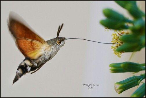 Hummingbird moth~