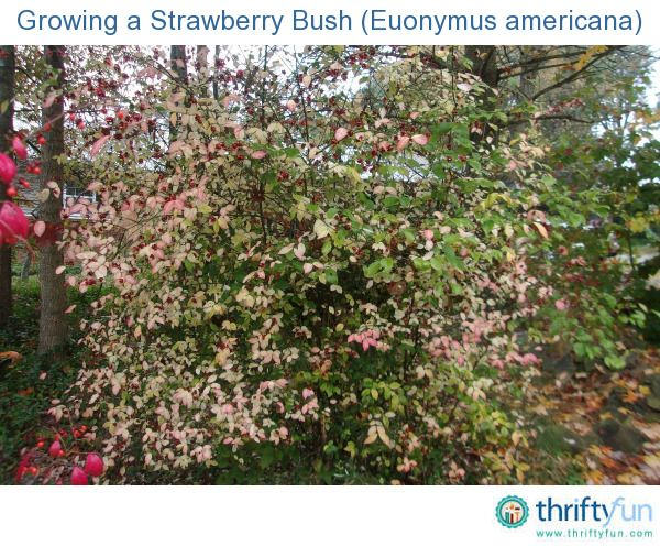 This is a guide about growing a strawberry bush (euonymus americana). The strawberry bush has lovely bursting heart shaped flowers, but don't eat the seeds!