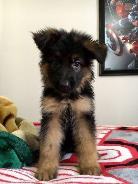 [Dogs] Breed: German Shepherd Dog, Gender: Male, Age: Baby, AKC German Shepherd Puppies - Orlando   Dogs