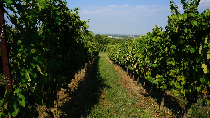 Some of our vineyards during the harvest period... #vineyards #harvest2015 #grapes #wines #wine #marcheseadorno