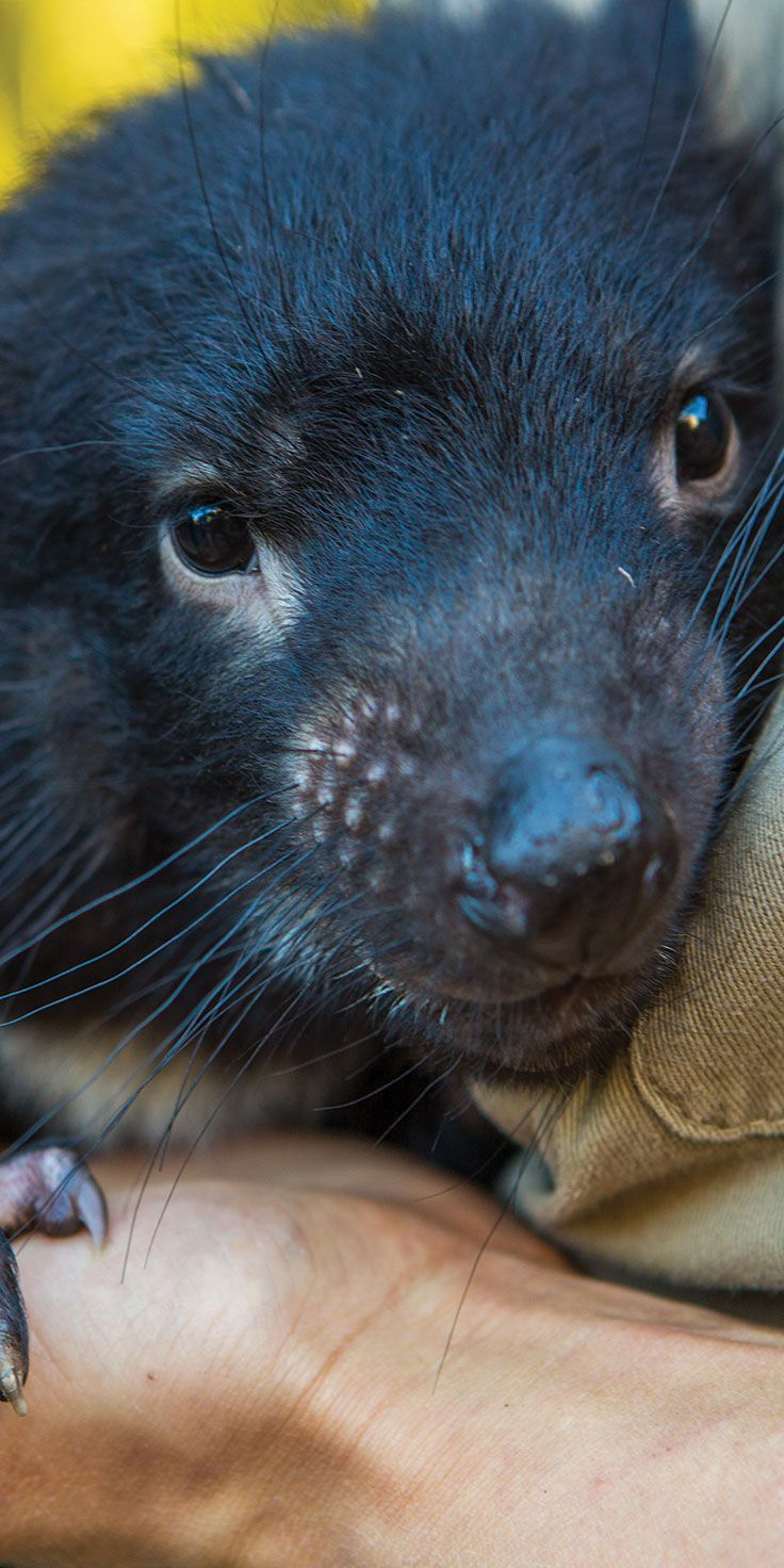 Time for a Tassie Devil close-up - by Paul Pichugins