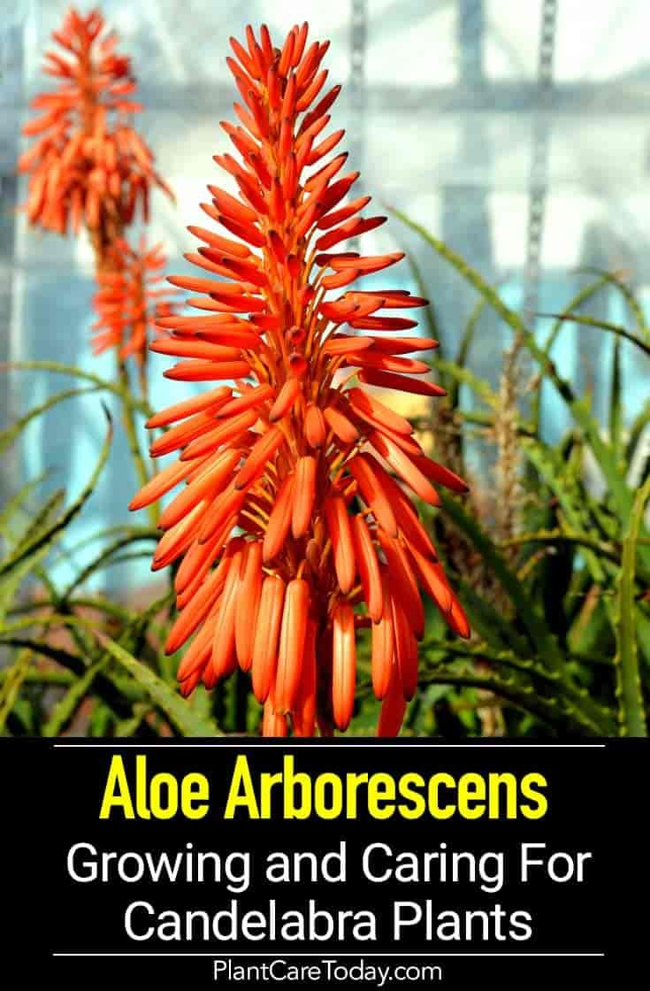 Aloe Arborescens Plant Growing And Care Of Candelabra Plants Arborescens Plants Fast Growing Plants
