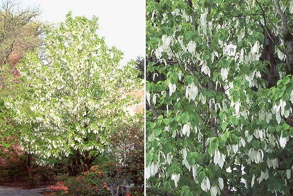 Davidia involucrata dovetree Nyssaceae