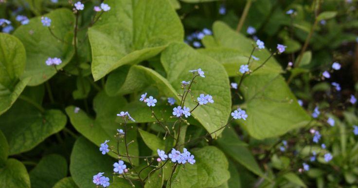Kaukasus-Vergissmeinnicht, Großblättriges Kaukasus-Vergissmeinnicht (Brunnera macrophylla): Informationen, Tipps & Tricks - Mein schöner Garten