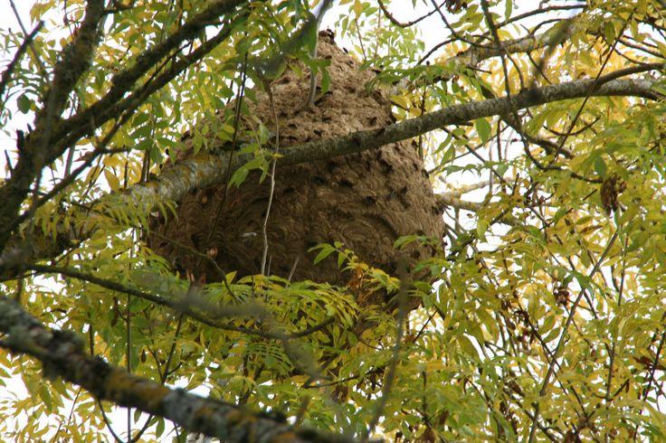 intervention sur la destruction d'un nid de frelons asiatique sur la ville de Auch a 12 m de hauteur, ce nid fait environ 160 litres donc un très gros nid