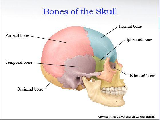 186 best life with a bone disease images on pinterest   bones, Sphenoid